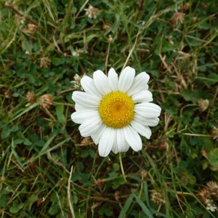 Enlightened daisy
