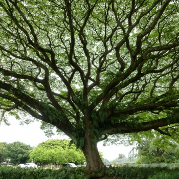 A beautiful tree in Hawai'i - Doesn't it look like a lung with all those branches?