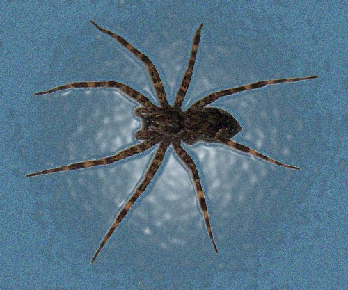 Very large wood spider